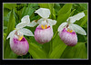 Lady's - slipper Showy