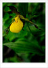Lady's - slipper Small Yellow