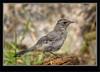 Gray Catbird Juvenile