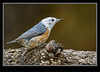 Red-breasted  Nuthatch - Partial Leucistic