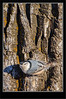 White-Crested Nuthatch