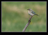 Mountain Bluebird Female