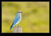 Mountain Bluebird -Male