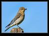 Mountain Bluebird- Female