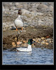 Duck - Goldeneye - Common_1RL4602