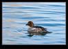 Barrow's Goldeneye Duck