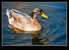 Buff Orphington Duck