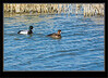 Scaup Lesser Duck