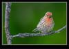 Juvenile Male House Finch