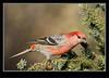 Pine Grosbeak -Male