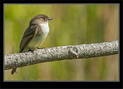 Flycatchers, Phoebes, Kingbirds