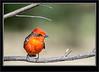 Flycatcher - Vemillion Male_2RG3489