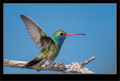 Hummingbirds, Kingfishers