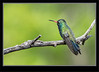 Hummingbird - Broad-billed Male_2RG2170