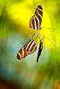 Zebra Long-winged Buttterfly