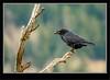 Ravens Roost