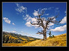 Limber Pine - Whaleback Ridge