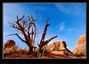 Pine Tree - Arches national Park