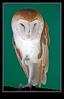 Barn Owl, Captive