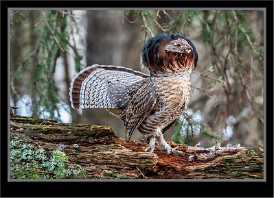 Grouse, Partridge, Pheasant, Quail, Turkey