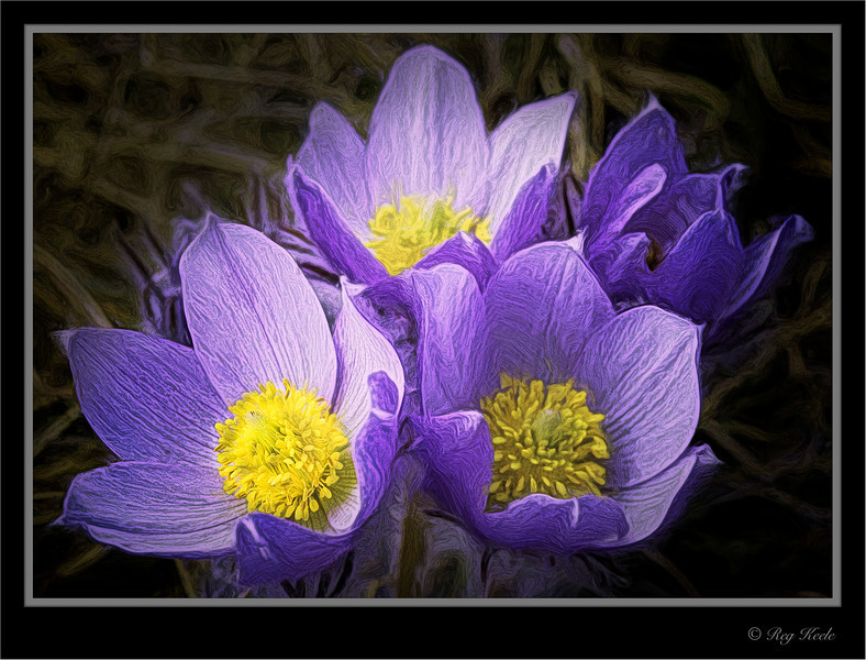 Crocus Bunch