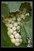 Wine Grapes Fruit Orchard - Osoyoos BC