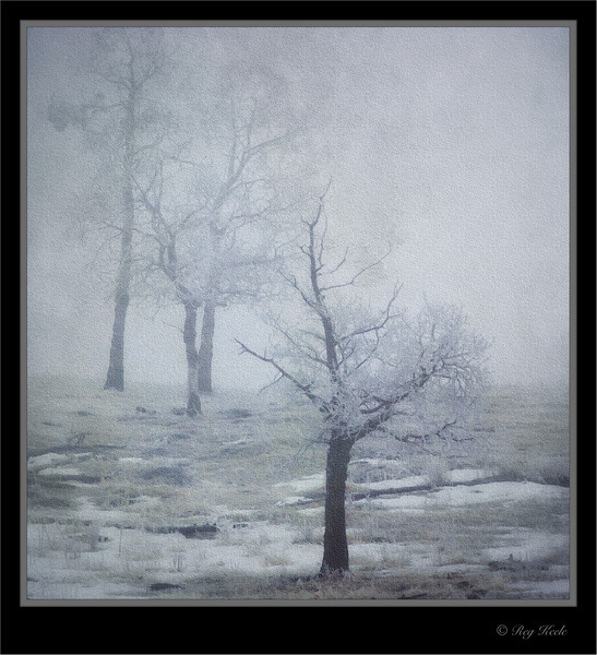 Oaks On A Fogy Winter Day