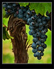 Grapes Waiting For Harvest - Osoyoos BC