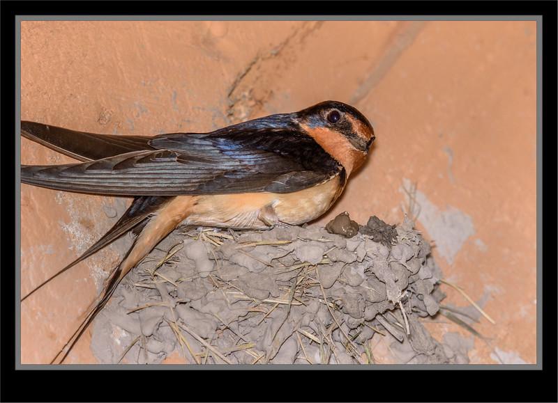 Swallow - Barn - Nest Building_1RL9035