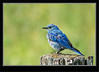 Juvenile Mountain Bluebird Male