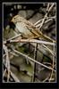Clay-Colorer Sparrow