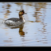 Eared Grebe Late Fall Plumage