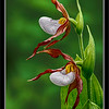 Mountain Lady's-slipper