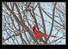 Northern Cardinal - Male