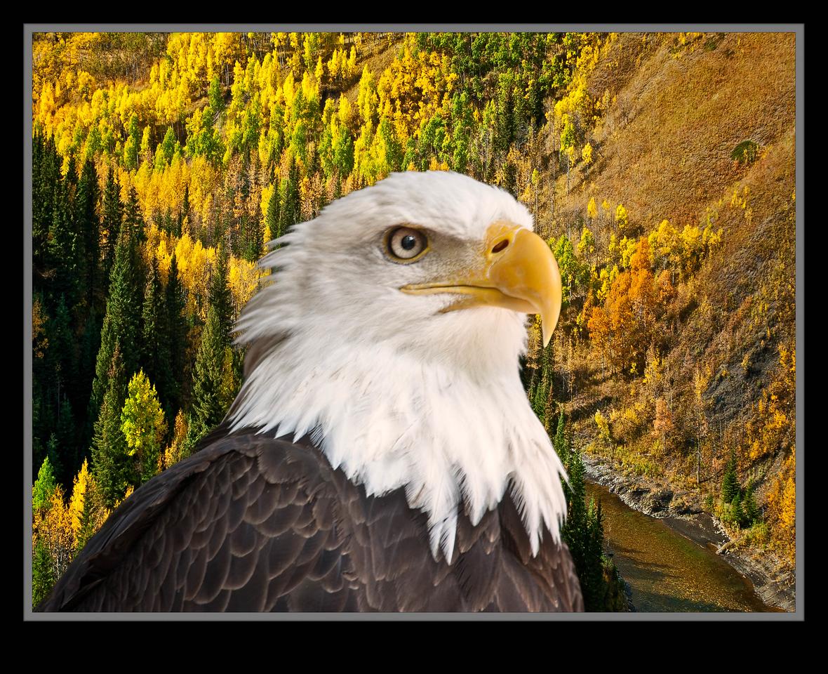 Bald Eagle [Composite]