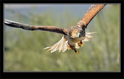 Eagles, Falcons, Hawks, Ospreys, Vultures