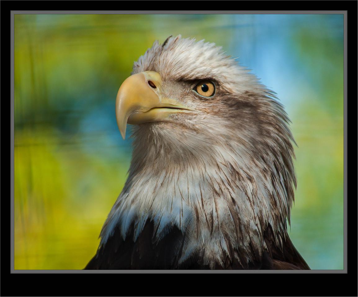 Bald Eagle  [Captive]