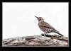 Woodpecker - Northern Flicker_6RK0465