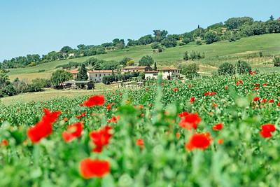 coquelicots, toscane, toscana poppies, papaveri
