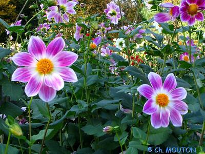 Fleurs 22 C-Mouton