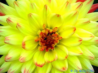 Fleurs 24 C-Mouton