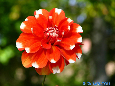 Fleurs 18 C-Mouton