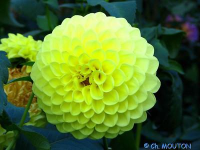 Fleurs 25 C-Mouton