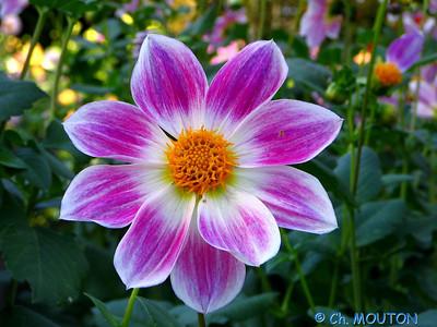 Fleurs 23 C-Mouton