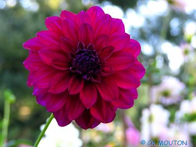 Fleurs 26 C-Mouton