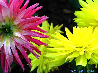 Fleurs 29 C-Mouton