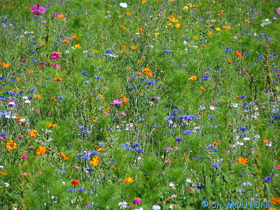 Fleurs des champs 2 C-Mouton
