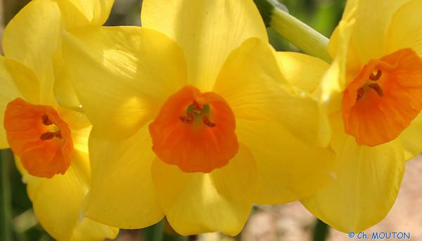 Narcisse 3 C-Mouton
