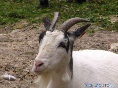 Biquette 2 C-Mouton