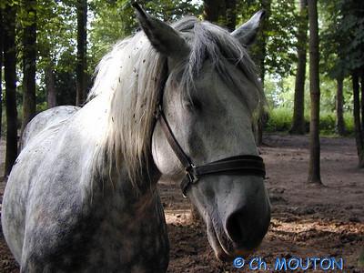 Cheval Beauce2